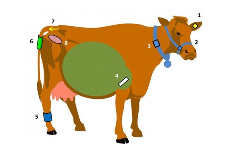 Image showing a drawing of a cow with various sensors on: one in the ear, mouth, stomach, anal tract, foot, neck and tail